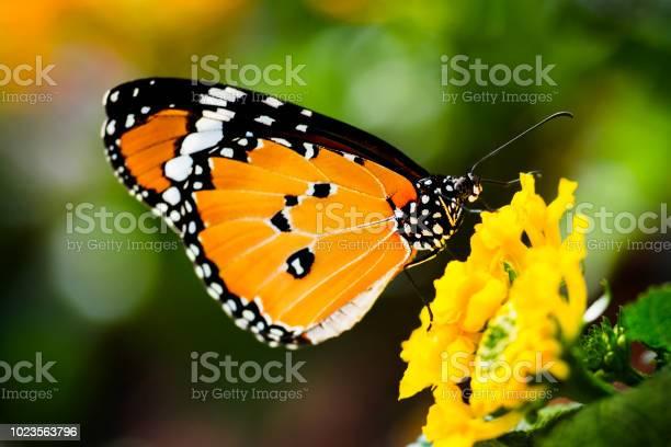 Butterfly on flower picture id1023563796?b=1&k=6&m=1023563796&s=612x612&h=u3dk1qbjreibmgylqn3rll4udokellknsdw488fnquu=