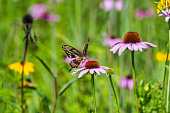 Close-Up of  Swallowtail Butterfly on Pink Flower with Selective Focus
