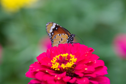 butterfly on flower shot at thiruvananthapuram kerala indiabutterfly on flower shot at thiruvananthapuram kerala india