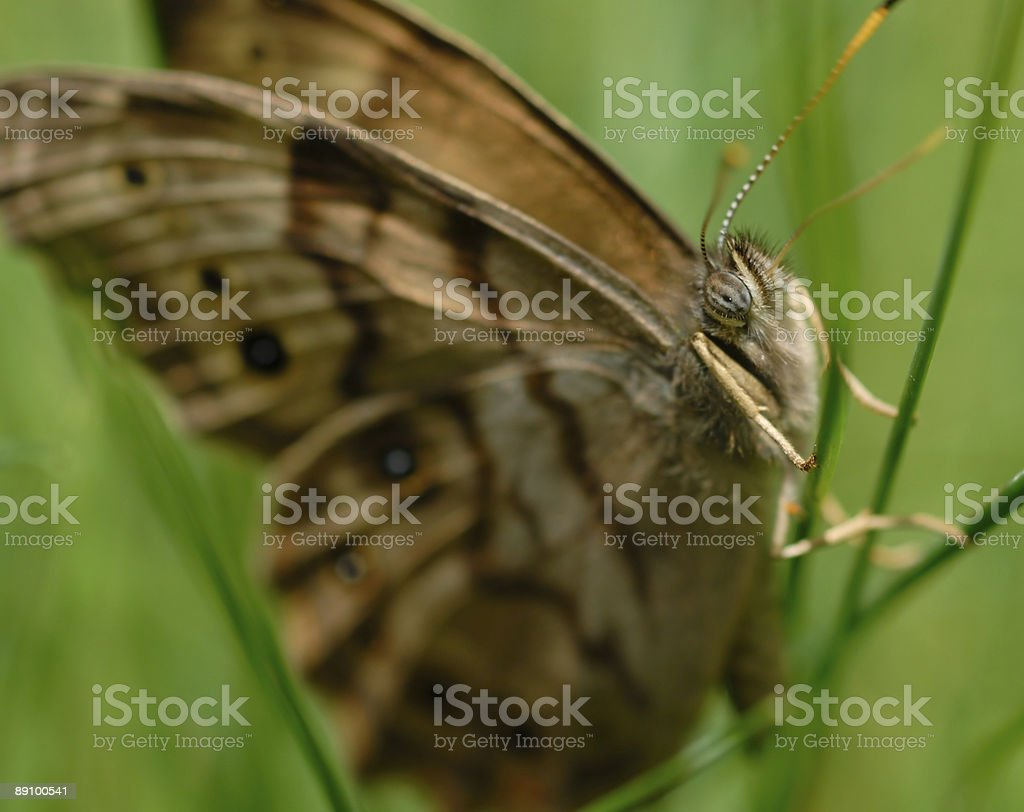 Schmetterling auf Gras, Makro 3 Lizenzfreies stock-foto