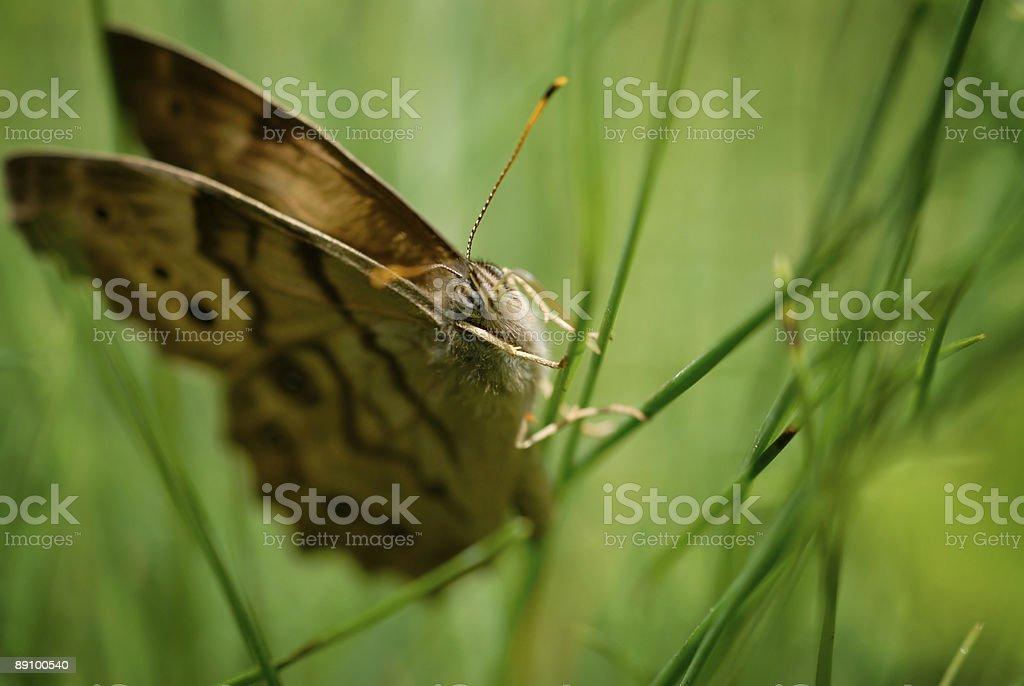 Schmetterling auf Gras, Makro mit Platz für Text Lizenzfreies stock-foto