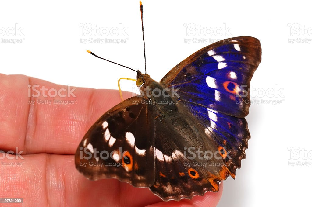 Butterfly on hand [Apatura ilia] royalty-free stock photo