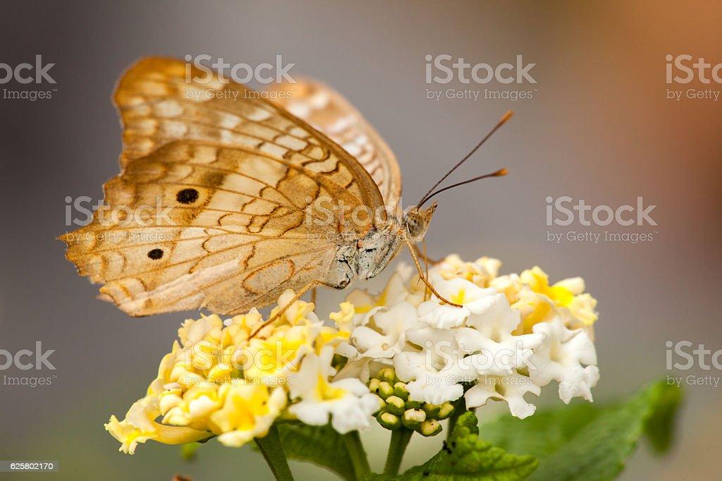 Butterfly on Lantana flower stock photo