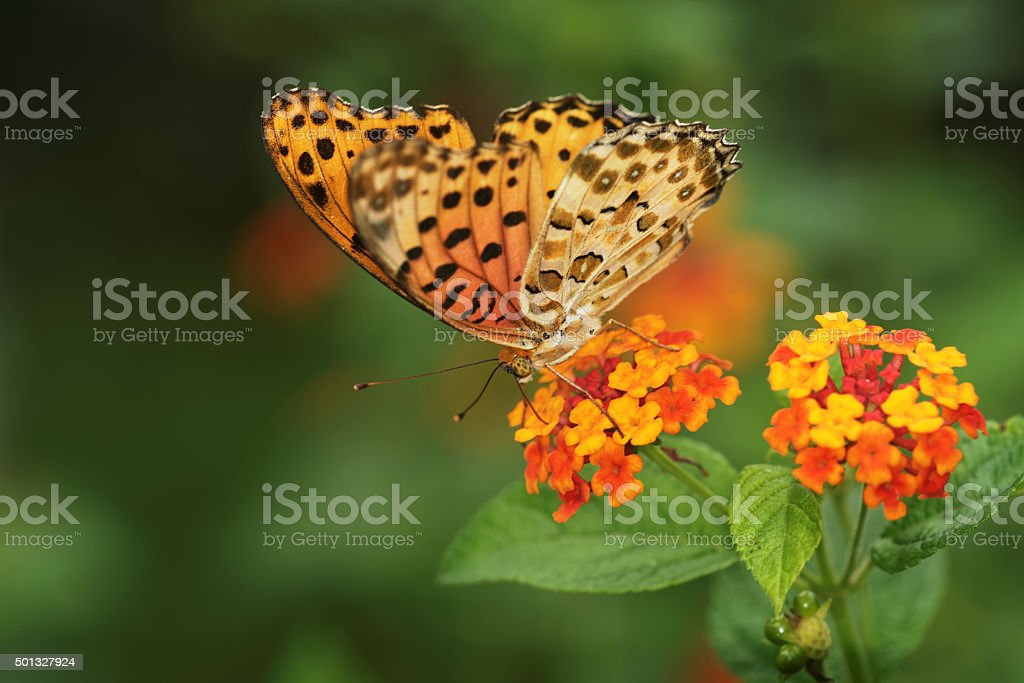 Butterfly on lantana plants stock photo