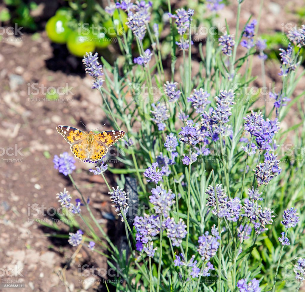 Butterfly on Lavender - Painted Lady stock photo
