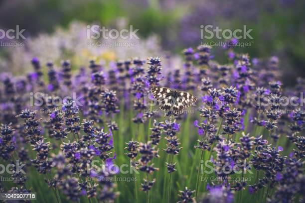 Butterfly on lavender picture id1042907718?b=1&k=6&m=1042907718&s=612x612&h=dni2o5 atyytddhznmxo3ack 2catghbgtzqhkbgc e=