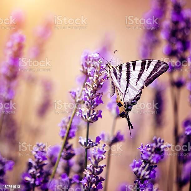Butterfly on lavender picture id162761913?b=1&k=6&m=162761913&s=612x612&h=s6pummgqytkekeos opl8ya3jnnaex zr7nxycaxmas=