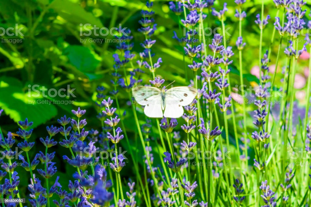 Butterfly on lavender royalty-free stock photo