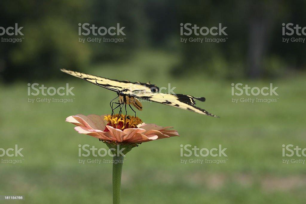 Butterfly on Orange Wildflower 3 royalty-free stock photo