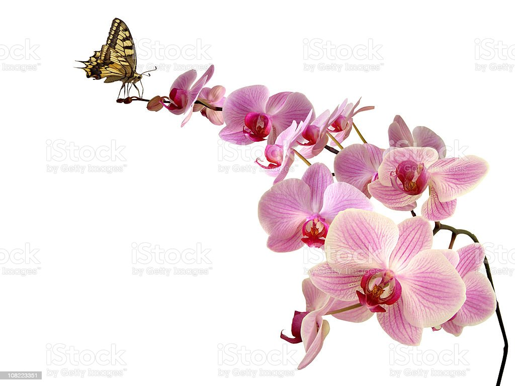 Butterfly on orchid royalty-free stock photo