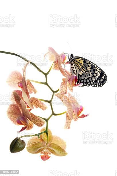 Butterfly on orchid picture id183796665?b=1&k=6&m=183796665&s=612x612&h=cuesh82828fr0z5qlwuj7fqijkwdijqg0e8rdpkwufi=
