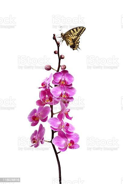Butterfly on orchids picture id115026816?b=1&k=6&m=115026816&s=612x612&h=tqwvjw hkbo6tkoj9xms zdqanyo38m1xvrc2n80kea=
