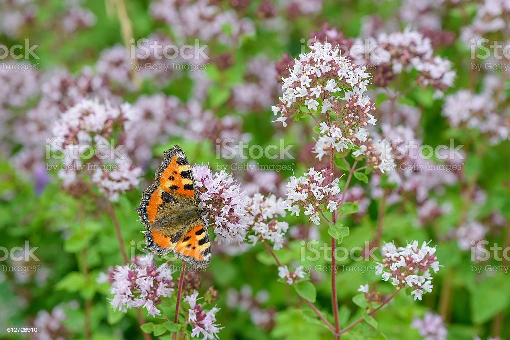 butterfly on oregano flowers on a green glade stock photo