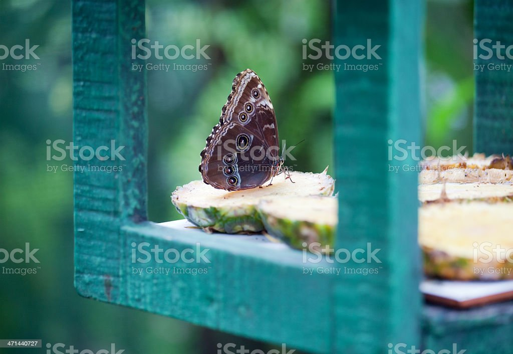 Butterfly on pineapple royalty-free stock photo