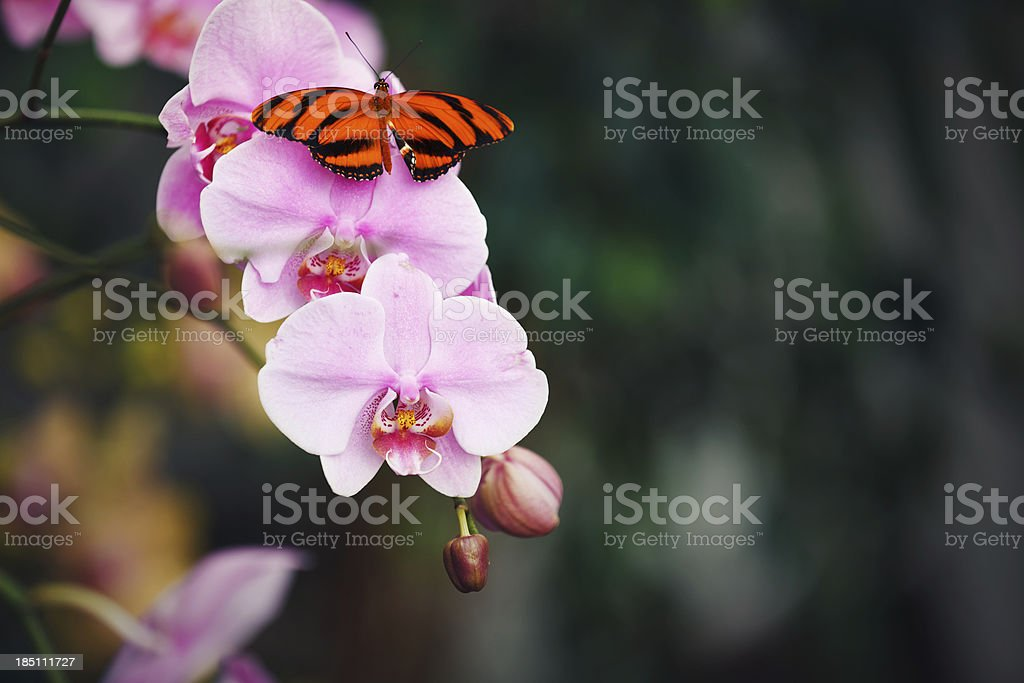 Butterfly On Pink Orchid royalty-free stock photo