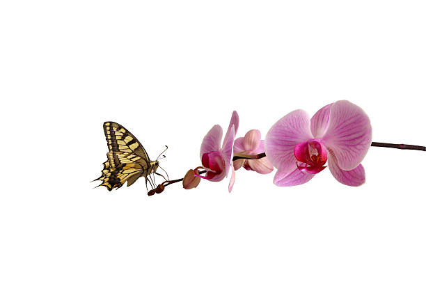 Butterfly on pink orchid picture id92981684?b=1&k=6&m=92981684&s=612x612&w=0&h=s b2pg8 rx j 1d zc3fsxxf ystgsfff7z8moisyl0=