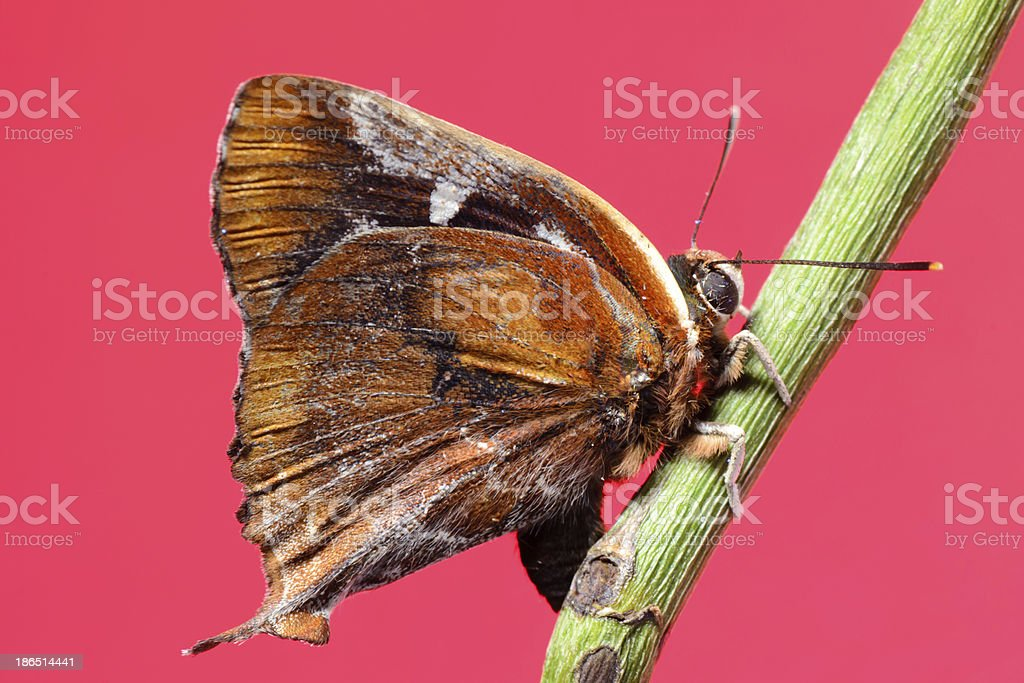 butterfly on red background royalty-free stock photo