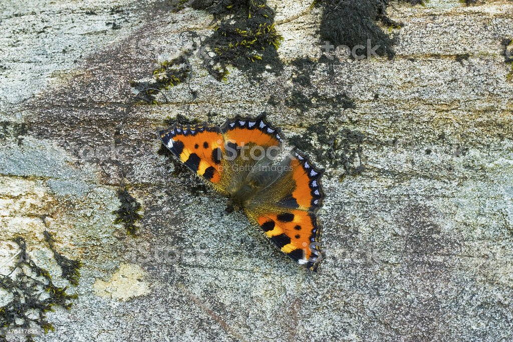 Butterfly (Lepidoptera) on rock surface royalty-free stock photo