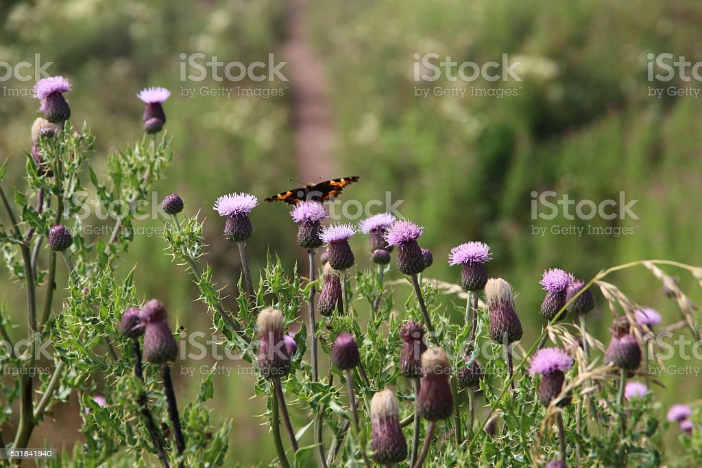 Butterfly on Scottish Thistles stock photo