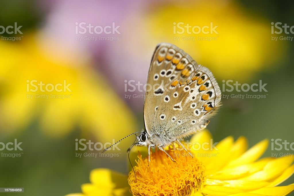 Butterfly on strawflower stock photo