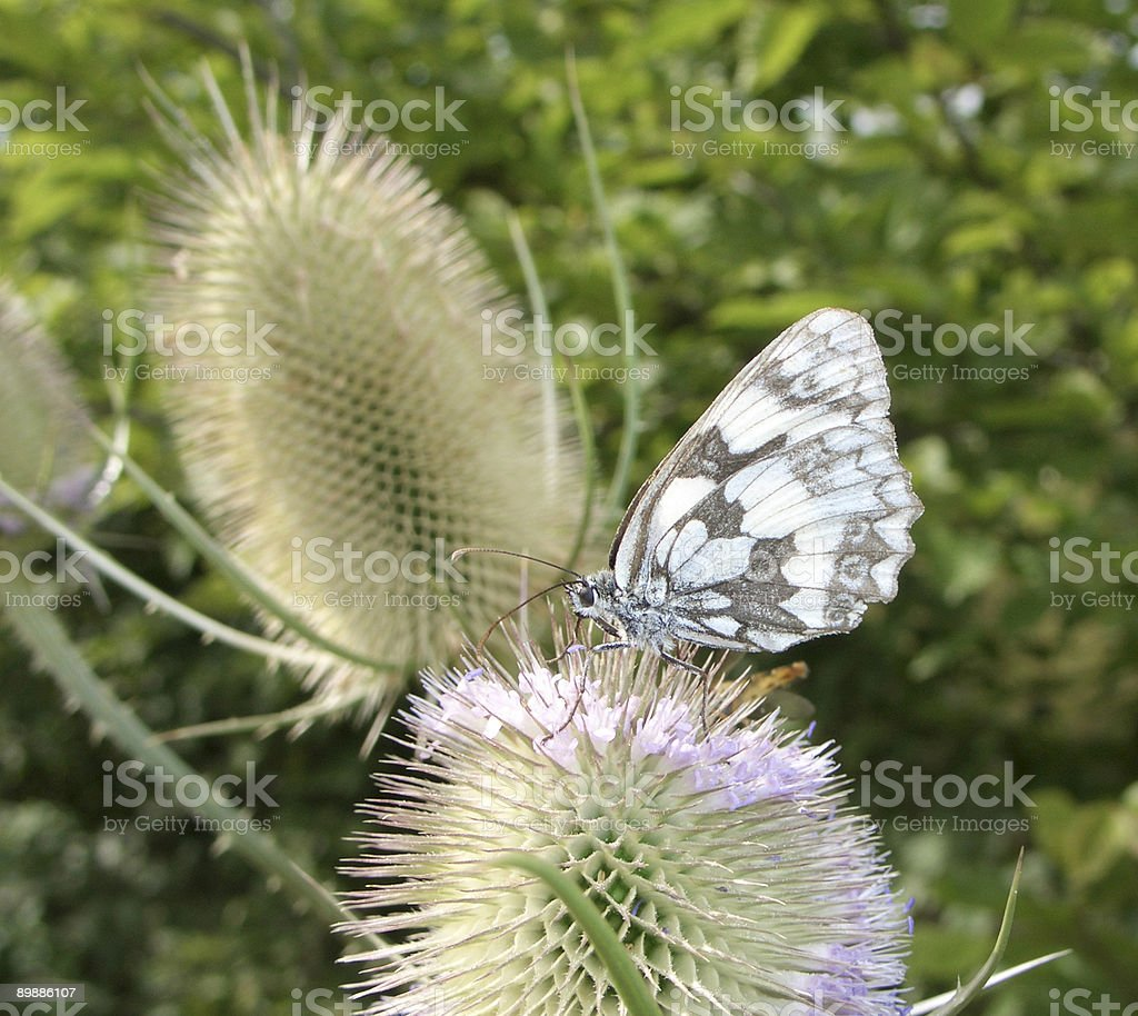 butterfly on teasel flower royalty free stockfoto