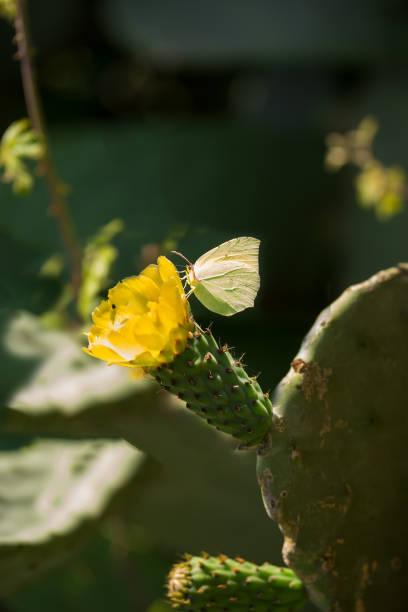 mariposa en la hermosa flor de opuntia ficus-indica o cactus pera se extienden ampliamente a lo largo de sicilia - opuntia robusta fotografías e imágenes de stock