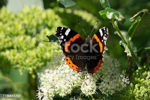 Butterfly on the flower. Red Zenia and Butterfly Urticaria