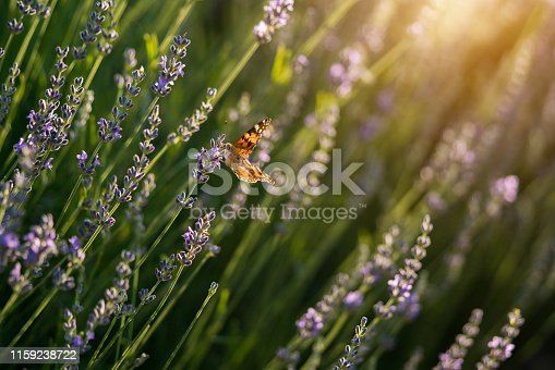 Butterfly on the Lavender field