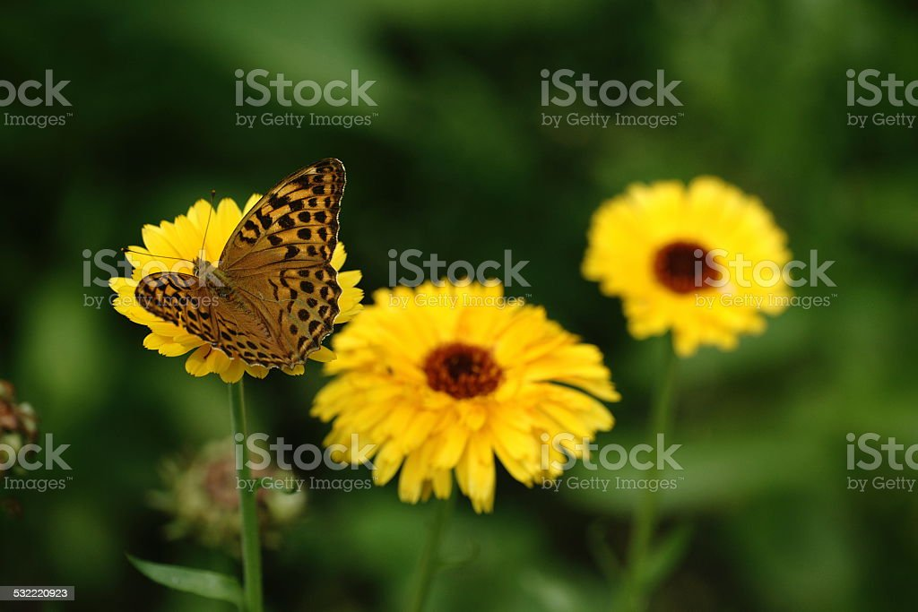 Butterfly on the yellow flower stock photo