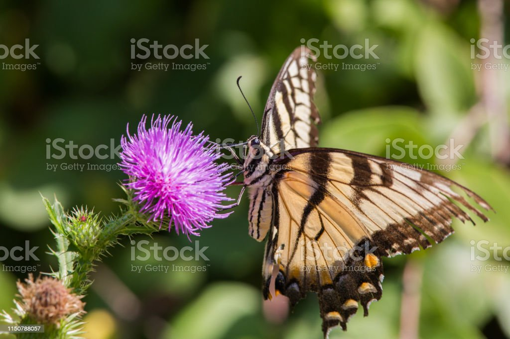 Butterfly on thistle - Royalty-free Animal Body Part Stock Photo