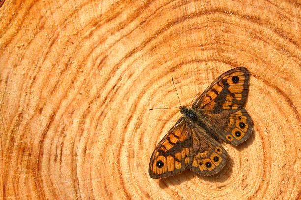 Schmetterling auf trunk – Foto