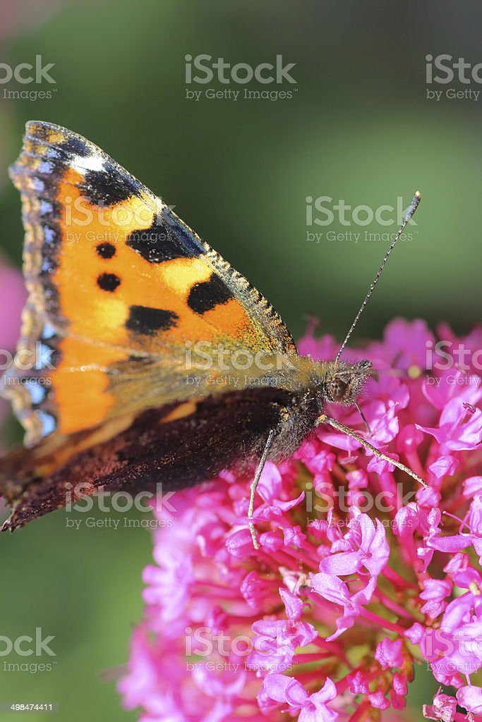 Butterfly on valerian flower stock photo