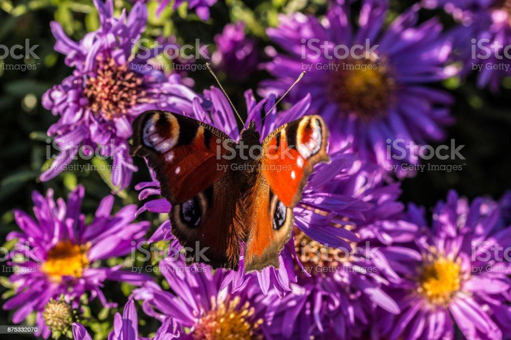 Schmetterling auf lila Blumen – Foto