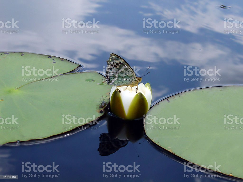 Butterfly on water lily stock photo