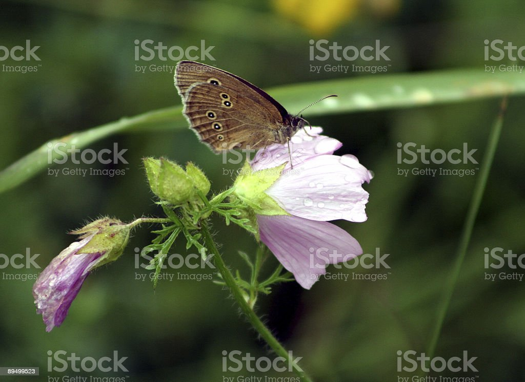 Papillon sur Fleur de la piscine wet photo libre de droits