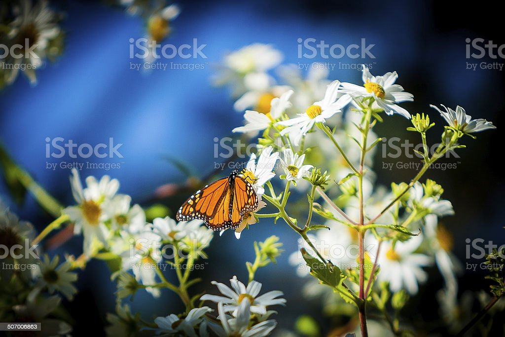 Butterfly On White Daisies stock photo