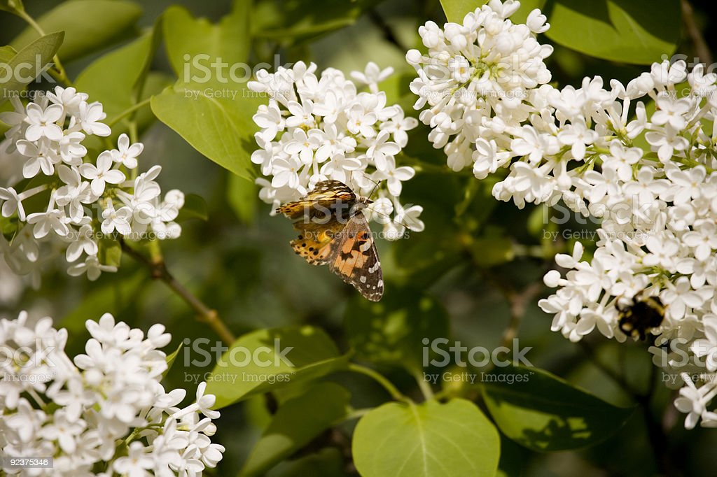 Butterfly on white flowers royalty-free stock photo
