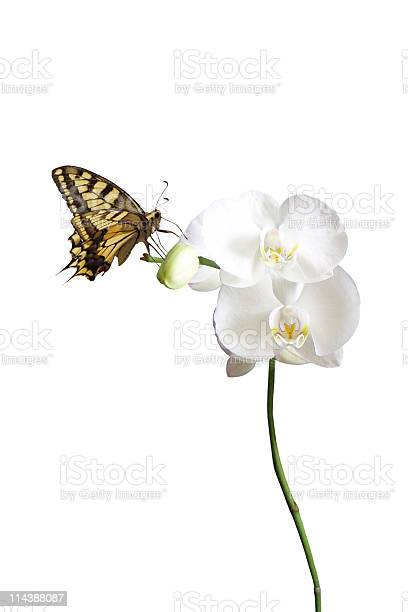 Butterfly on white orchid picture id114388087?b=1&k=6&m=114388087&s=612x612&h=xjgtylsru2hltssx urg91a4o0nsjm8me3nafcdp0zm=