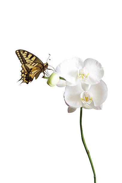 Butterfly on white orchid picture id114388087?b=1&k=6&m=114388087&s=612x612&w=0&h=9bckleemfqgviqmdk03xlsxw2jrn 4arprsdn2fibsu=