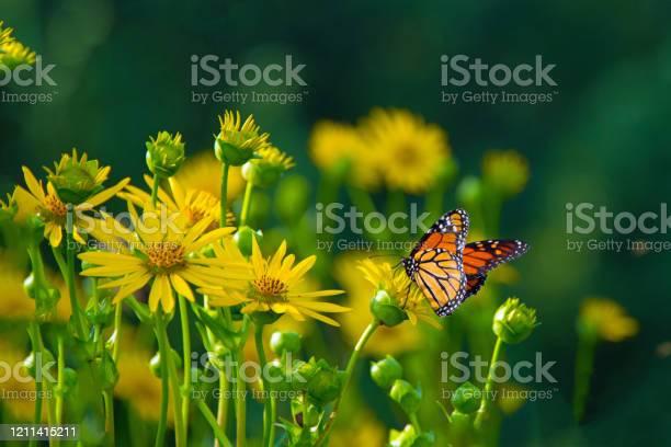 Butterfly on wild flowerfulton county indiana picture id1211415211?b=1&k=6&m=1211415211&s=612x612&h=9l7gwc18kkcudtpft9dl6wzvwu0wazukftihm ixgk4=