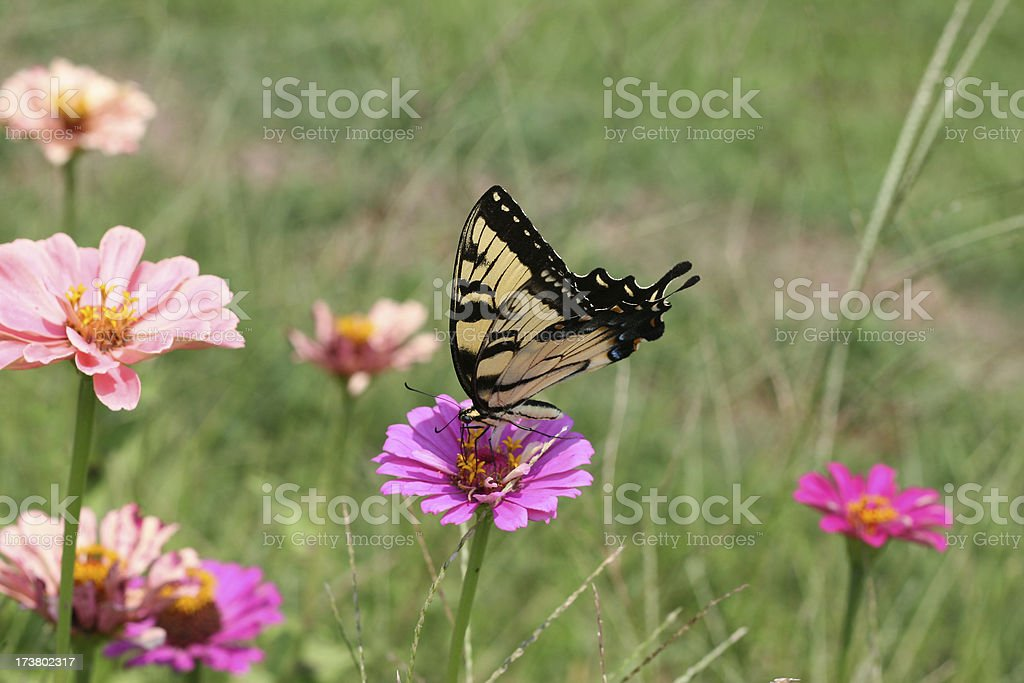 Butterfly on Wildflower 2 royalty-free stock photo