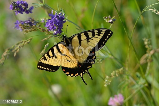 Close up of Giant Swallowtail butterfly on wildflowers