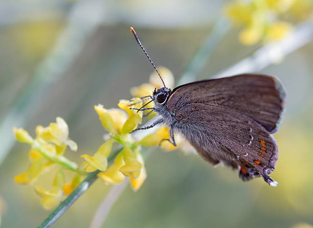 Butterfly on yellow flowers Butterfly photographed in their natural environment. alas stock pictures, royalty-free photos & images