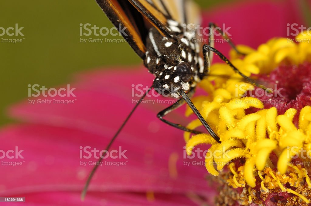 Butterfly on Zinnia stock photo