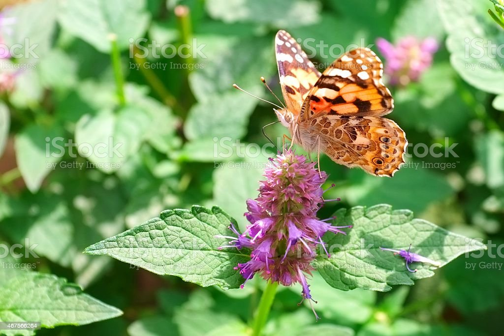 Butterfly or moth seeking nectar from a flower stock photo