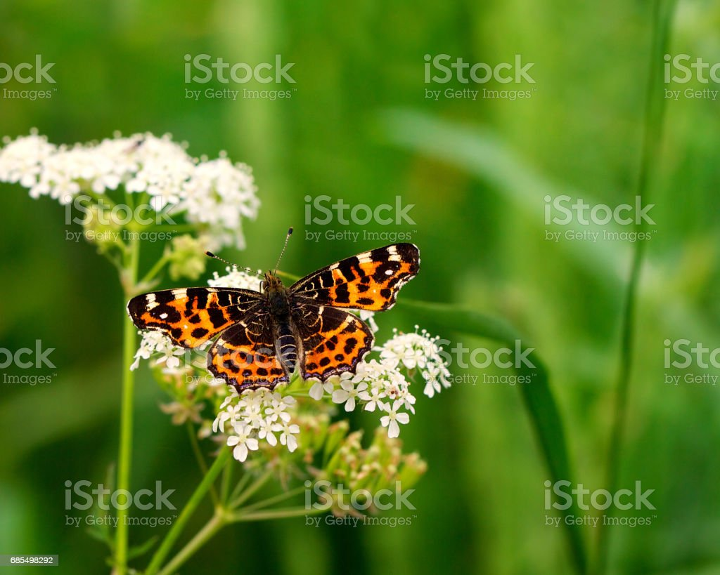 Butterfly or Painted Lady -vanessa cardui- on a flower stock photo