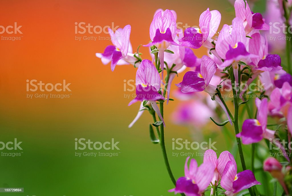 butterfly orchid flower royalty-free stock photo
