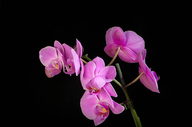 Butterfly Orchid stock photo