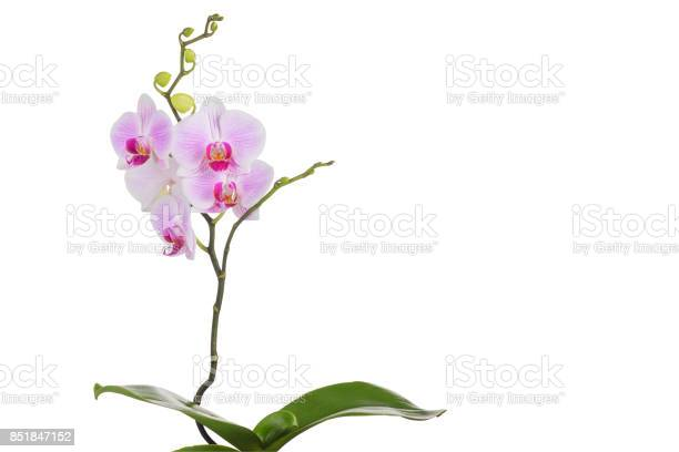Butterfly orchid plant isolated on white background picture id851847152?b=1&k=6&m=851847152&s=612x612&h=tmzqdxwssajbnnom0qt qrflf5w xrqodrpmaznenfg=