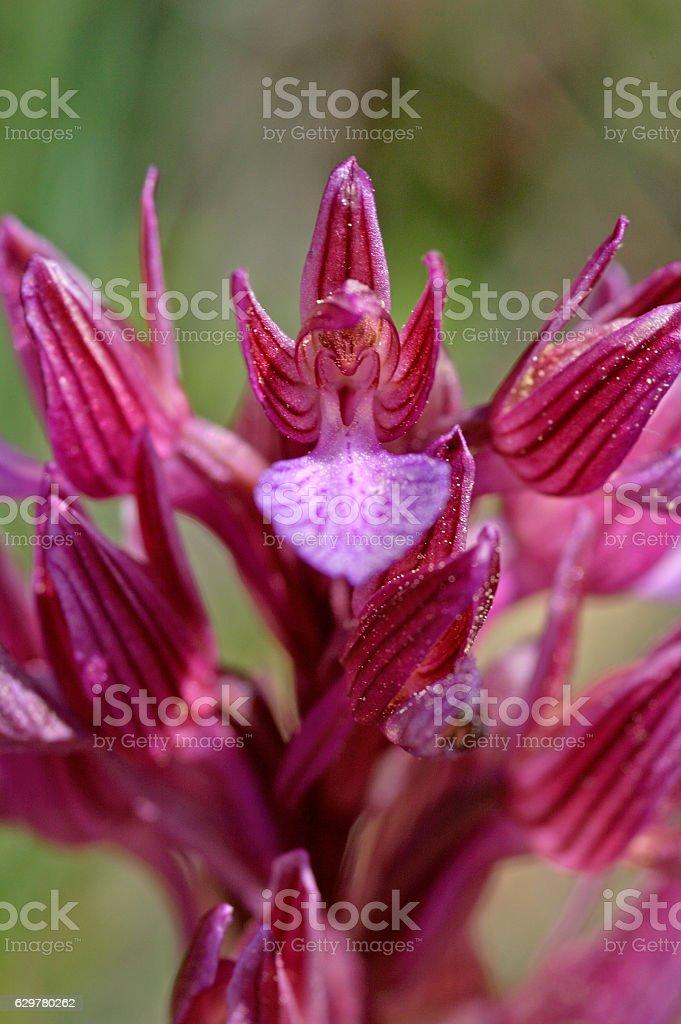 Butterfly orchis (Anacamptis papilionacea) stock photo